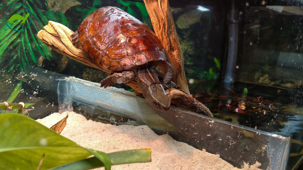 Adult Male Sacalia quadriocellata (Four-Eyed Turtle)