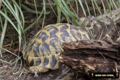 Adult Testudo hermanni hermanni (Western Hermann's Tortoise) - Chris Leone, Garden State Tortoise
