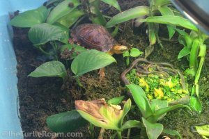 Juvenile Cuora flavomarginata (Yellow-Margined Box Turtle) - Denver Zoo