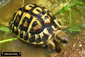 Juvenile Testudo hermanni hermanni (Western Hermann's Tortoise)  - GardenStateTortoise.com