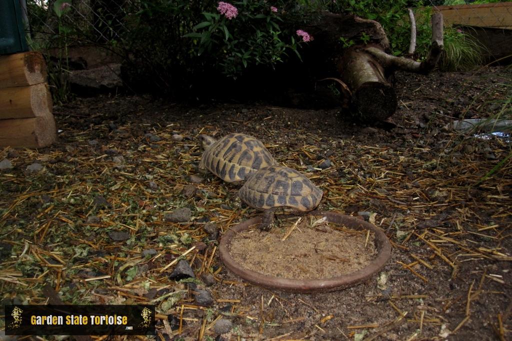 Adult pair of Testudo hermanni hermanni (Western Hermann's Tortoise) from Siciliy, Italy - Chris Leone