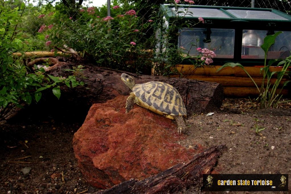 Adult Female Testudo hermanni hermanni (Western Hermann's Tortoise) from Siciliy, Italy - Chris Leone