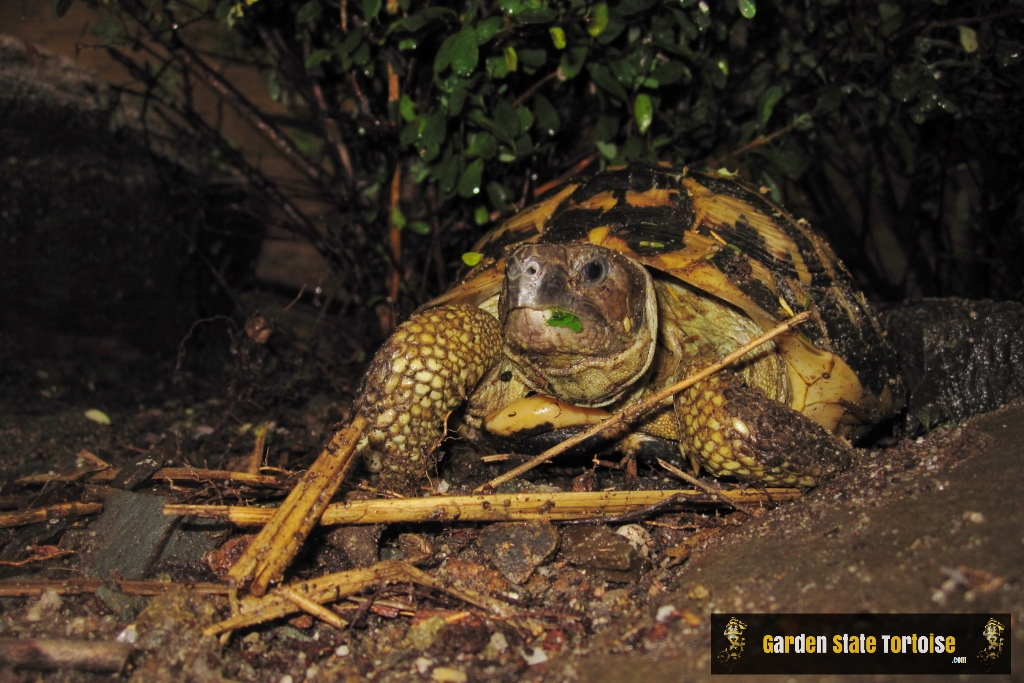Adult Male Testudo hermanni hermanni (Western Hermann's Tortoise) from Calabria, Italy - Chris Leone