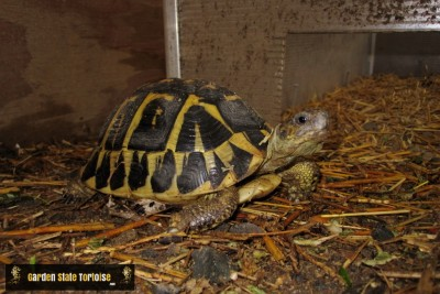 Adult Female Testudo hermanni hermanni (Western Hermann's Tortoise) from Tuscany Italy - Chris Leone