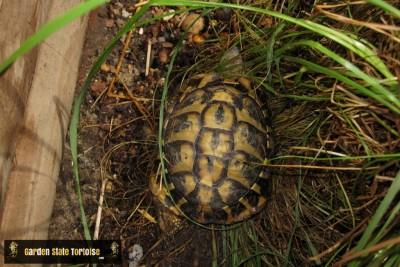 Adult Male Testudo hermanni hermanni (Western Hermann's Tortoise) from Majorca, Spain - Chris Leone