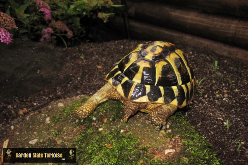 Adult Testudo hermanni hermanni (Western Hermann's Tortoise) - Chris Leone