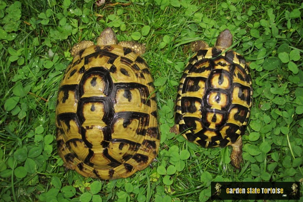 Carapace comparison: left - Testudo hermanni boettgeri, right - Testudo hermanni hermanni