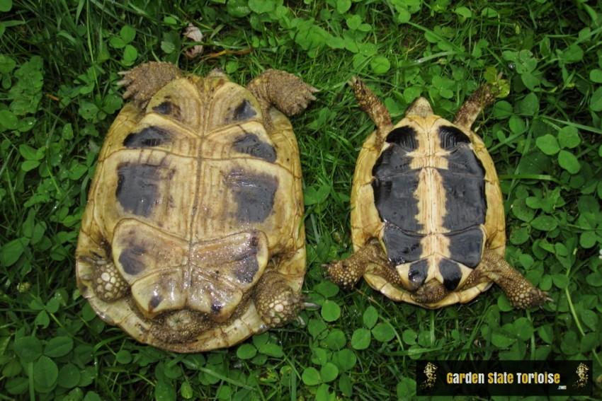 Plastron comparison: left - Testudo hermanni boettgeri, right - Testudo hermanni hermanni