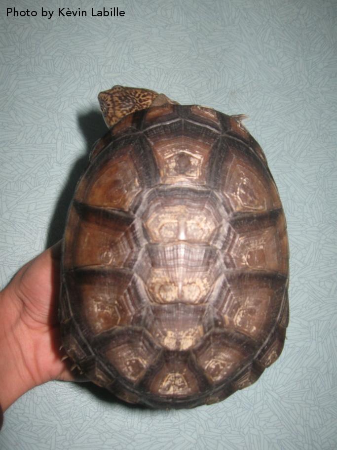 Adult Pelusios castaneus castaneus (West African Mud Turtle) - Photo by Kèvin Labille