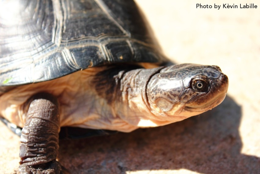 Adult Pelusios castaneus castaneus (West African Mud Turtle) - Photo by Kèvin Labille