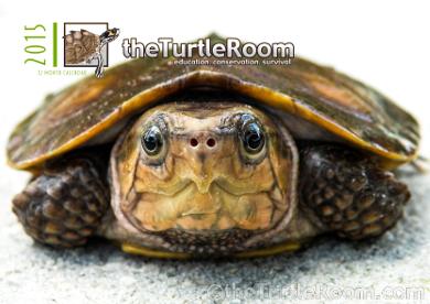 theTurtleRoom 2015 Turtle Calendar - Plastysternon megacephalum megacephalum (Chinese Big-Headed Turtle)