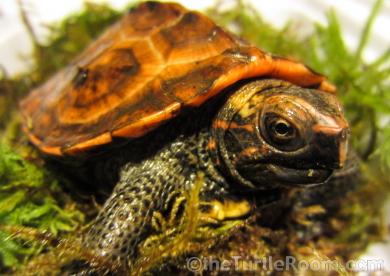 theTurtleRoom 2015 Turtle Calendar - Geoemyda japonica (Ryukyu Black-Breasted Leaf Turtle)