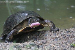 Adult Emydoidea blandingii (Blanding's Turtle) - Garden State Tortoise