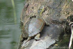 Adult Mauremys mutica mutica (Yellow Pond Turtle)