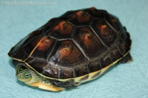 Mauremys sinensis (Chinese Golden Thread Turtle)