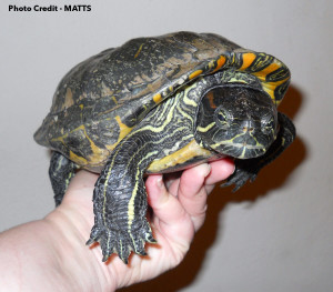 A 47-y/o Red-Eared Slider that spent plenty of time in unsuitable care. Photo Credit MATTS