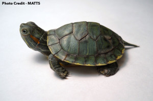Hatchling Red-Eared Slider with shell rot and an injured foot. Photo Credit MATTS