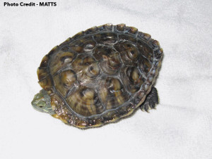 Another deformed Red-Eared Slider. Photo Credit MATTS
