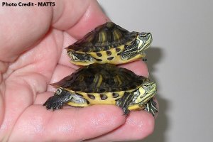 A Yellow-Bellied Slider with Kyphosis (Top), heathly (Bottom) - Photo Credit MATTS