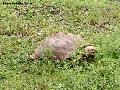 Sally the Sulcata - Photo by Mike Taylor