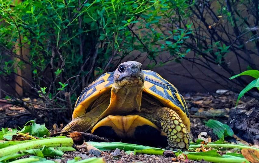 Adult Testudo hermanni hermanni (Western Hermann's Tortoise) - Photo by Chris Leone