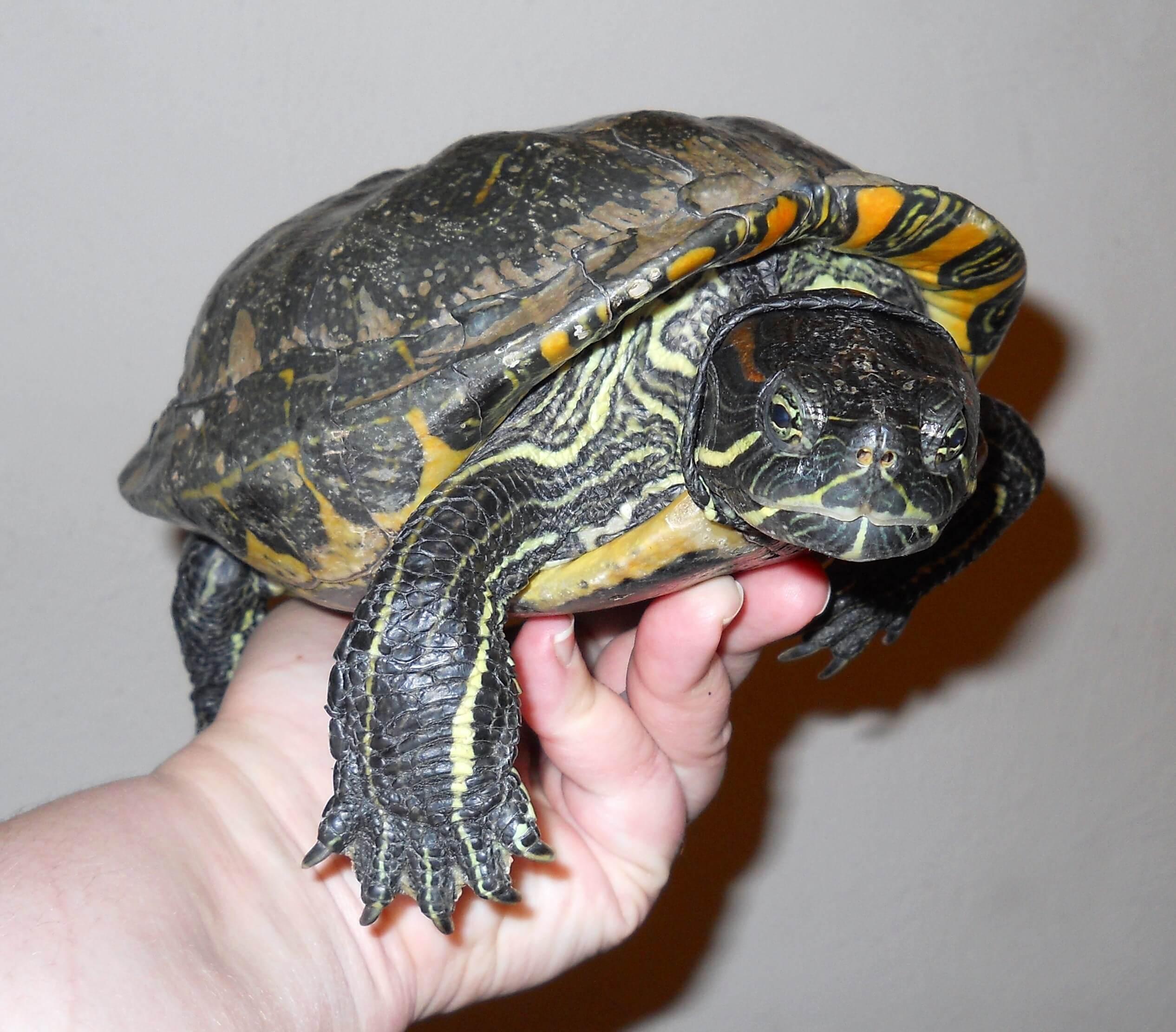 How Popular Pet Turtles Became Popular Theturtleroomtheturtleroom