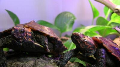 A pair of Geoemyda japonica (Ryukyu Black-Breasted Leaf Turtle)