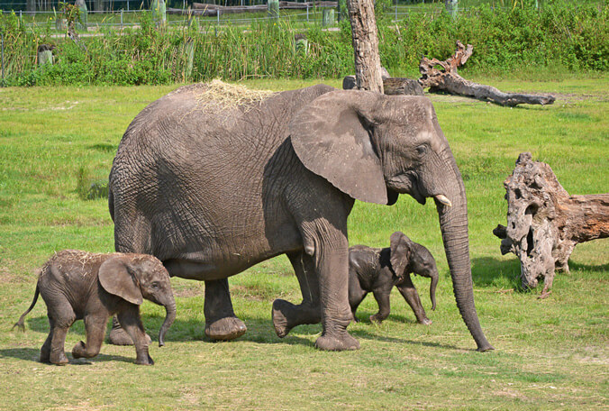 A mother elephant with her calves, enjoying the safety of the Lowry Park Zoo in Tampa Bay, FL