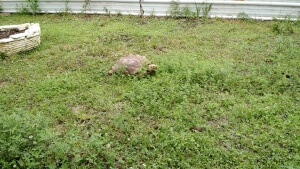 Sally the Sulcata. Photo Courtesy of Mike Taylor