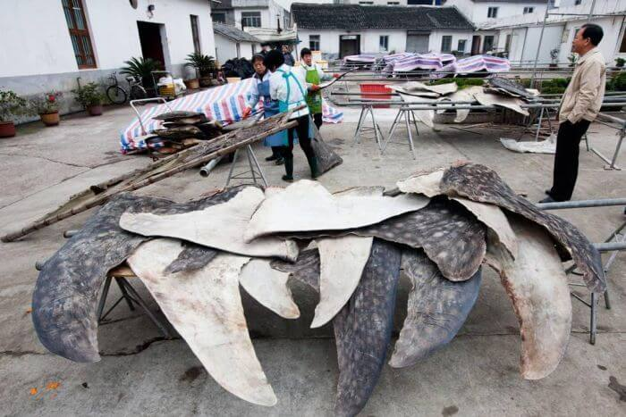 Whale shark fins taken from killed animals.