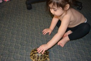Anthony's daughter spending quality time with one of his Testudo hermanni hermanni (Eastern Hermann's Tortoise)