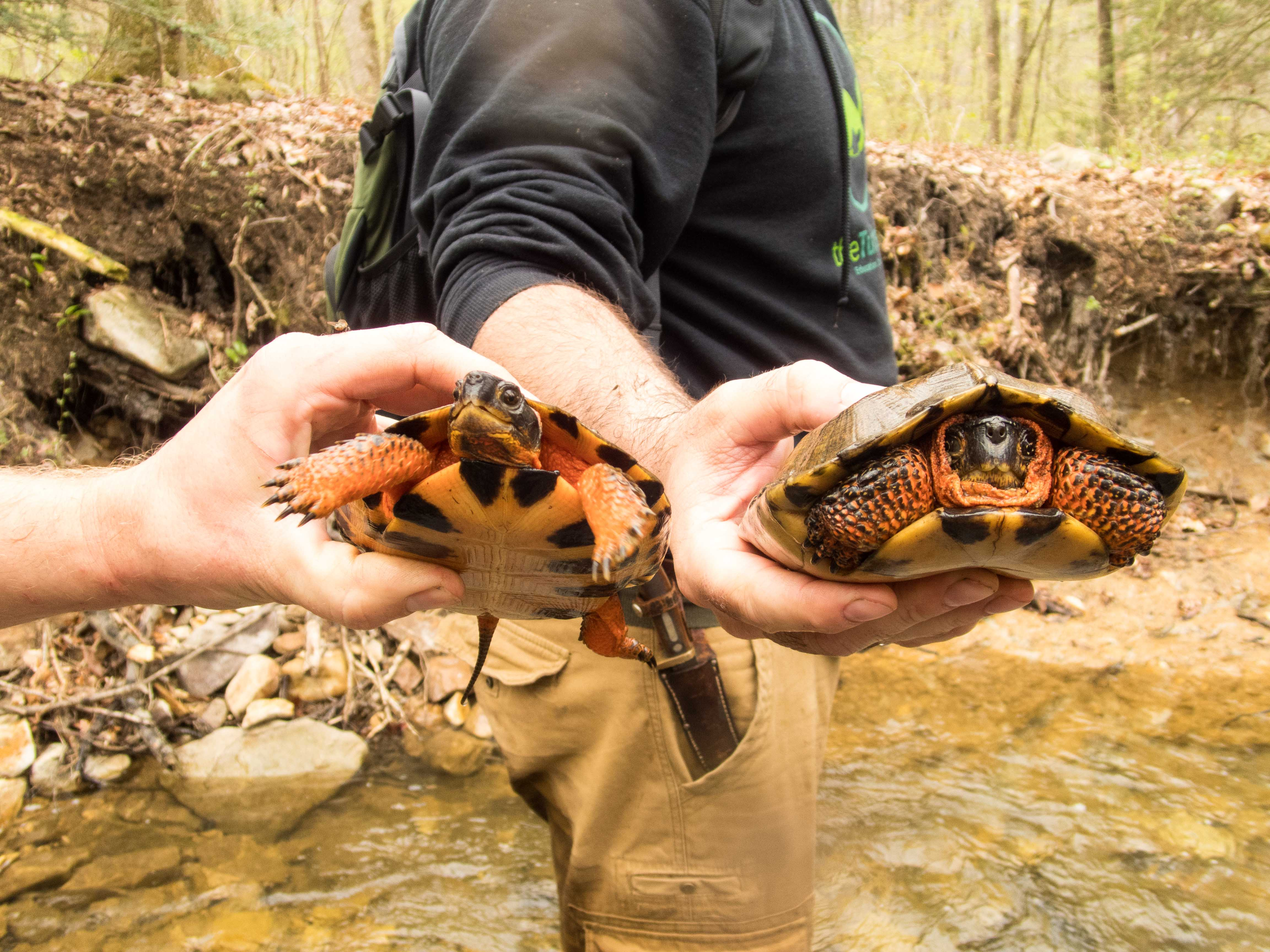 Adult Male and juvenile Glyptemys insculpta (Wood Turtle), Lebanon County, PA