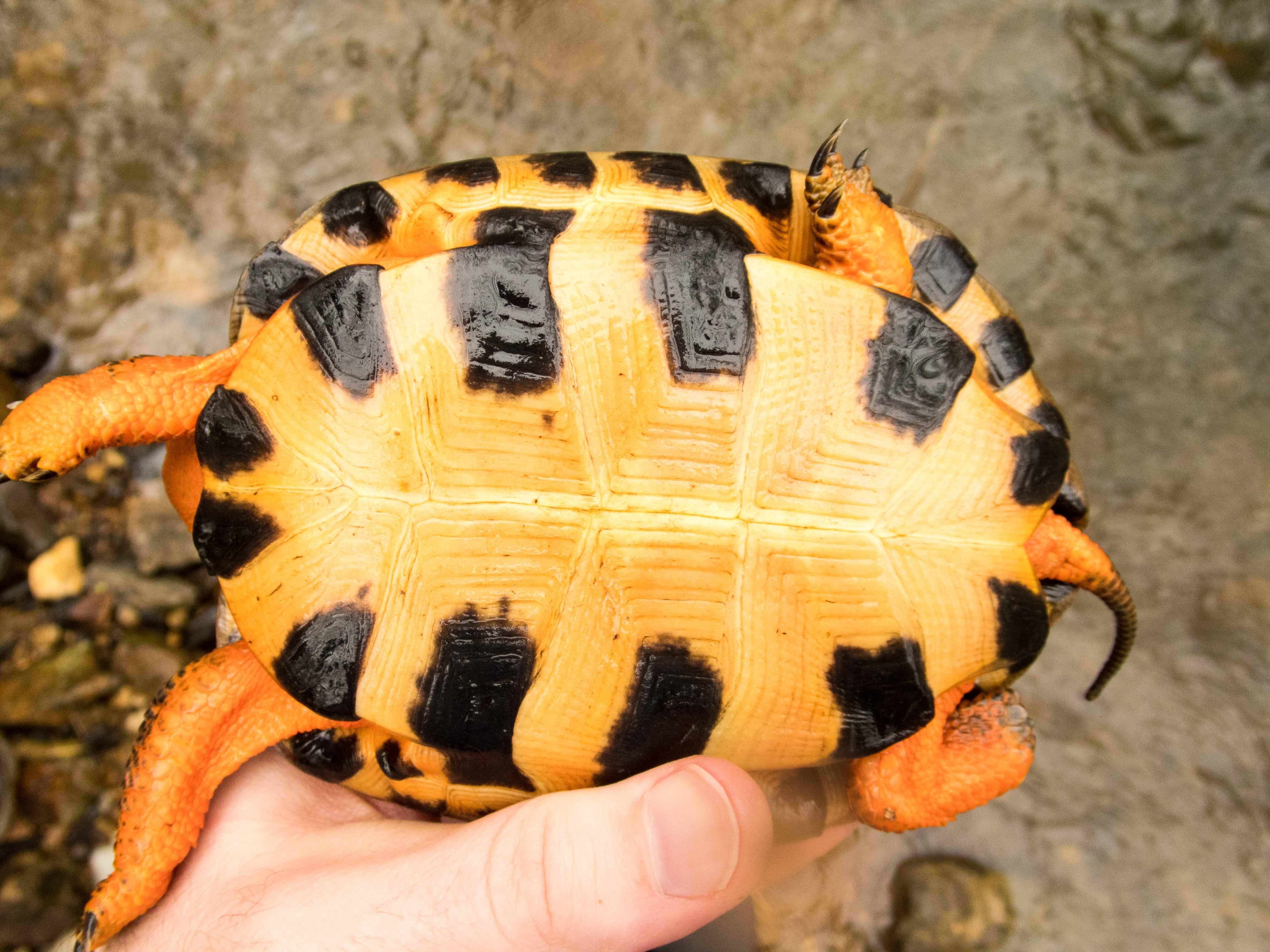 Sub-adult Glyptemys insculpta (Wood Turtle), Lebanon County, PA