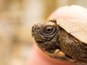 Hatchling Glyptemys insculpta (Wood Turtle), Lebanon County, PA