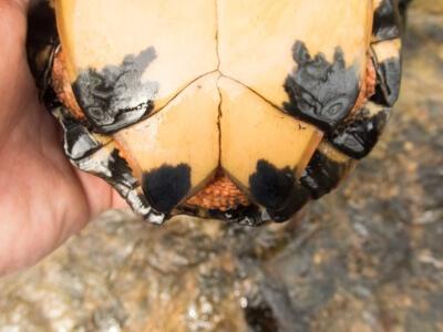 Adult Female Glyptemys insculpta (Wood Turtle), Lebanon County, PA