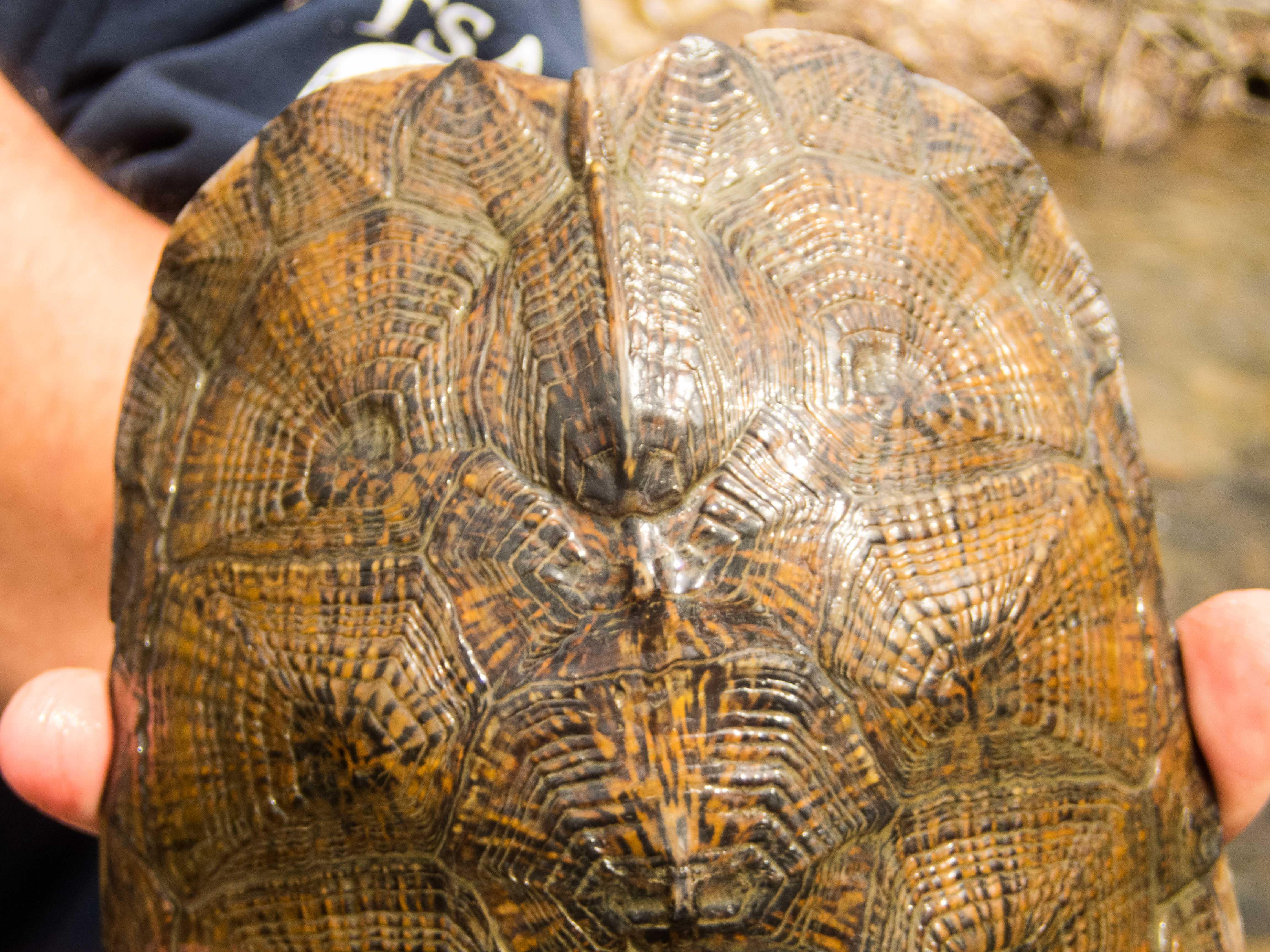 Adult Male Glyptemys insculpta (Wood Turtle), Lebanon County, PA
