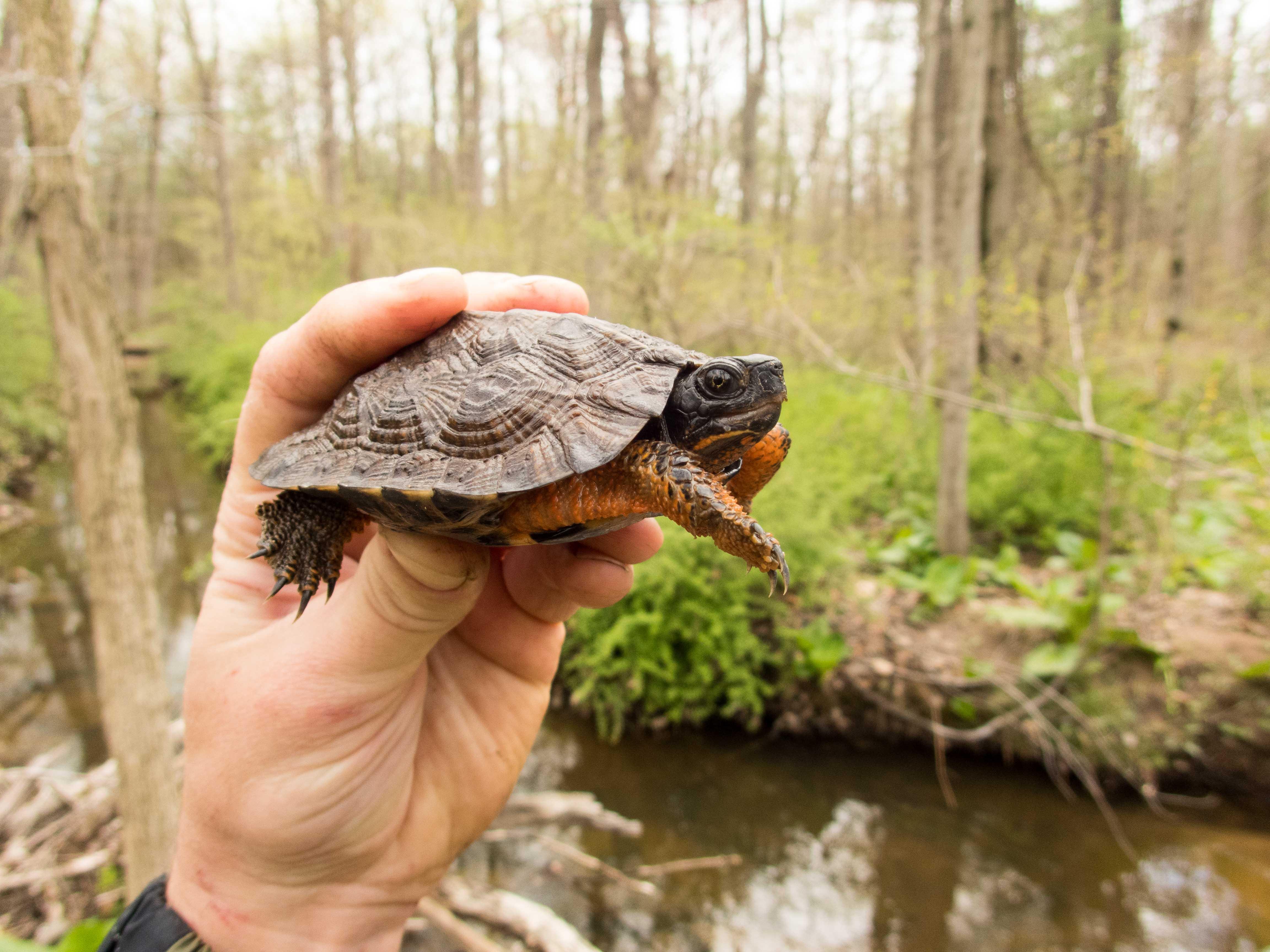 Juvenile Glyptemys insculpta (Wood Turtle), Lancaster County, PA