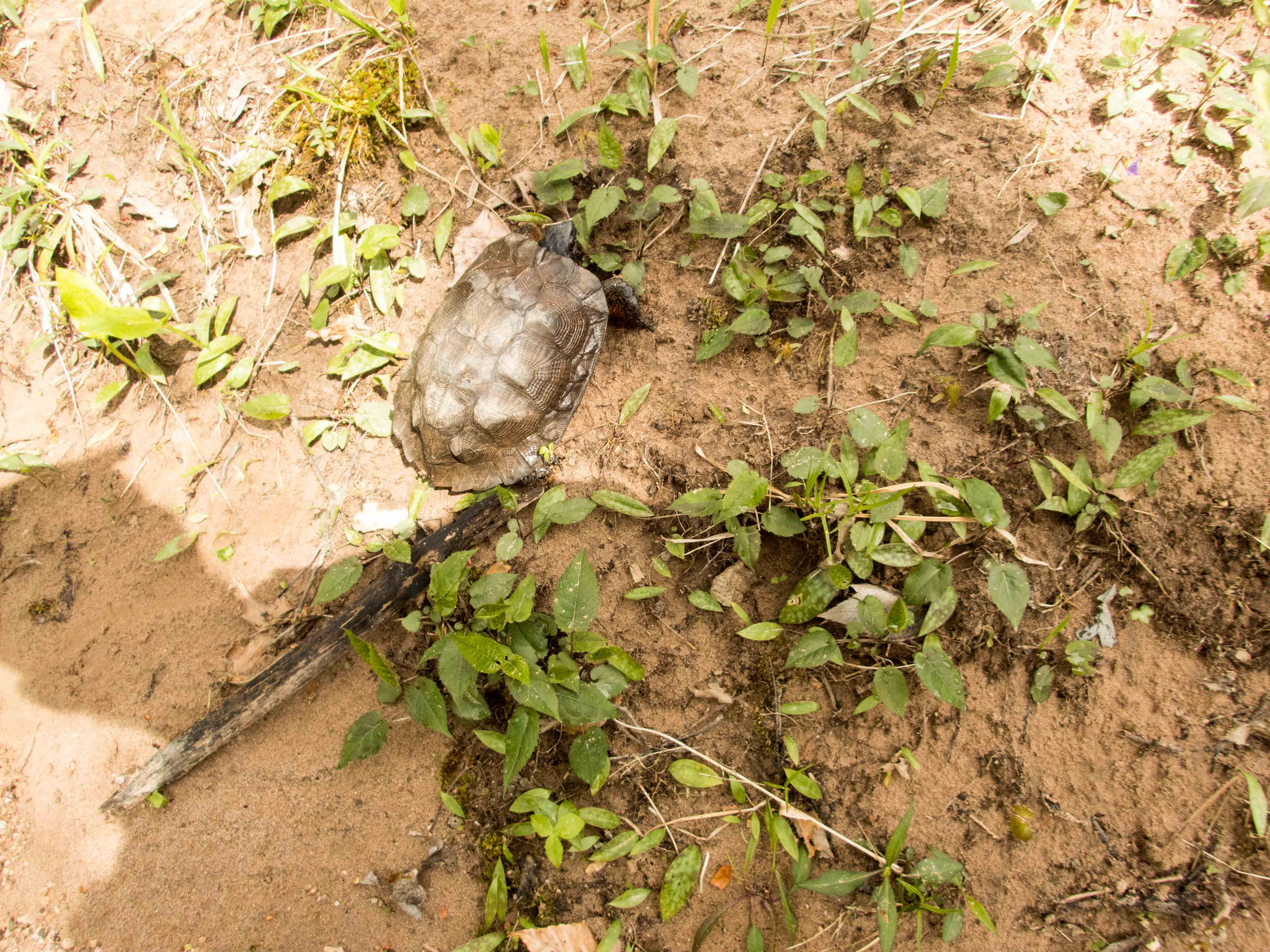 Adult Female Glyptemys insculpta (Wood Turtle), Lancaster County, PA