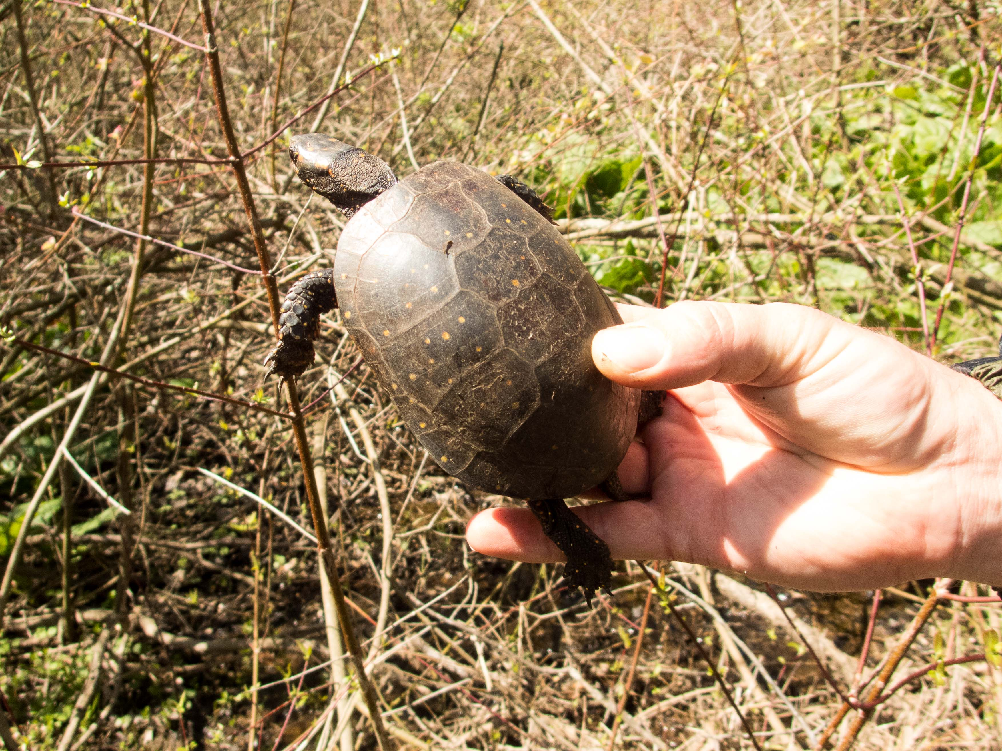 Adult Clemmys guttata (Spotted Turtle), Lancaster County, PA