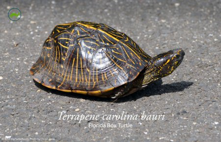 Terrapene carolina bauri (Florida Box Turtle) Poster