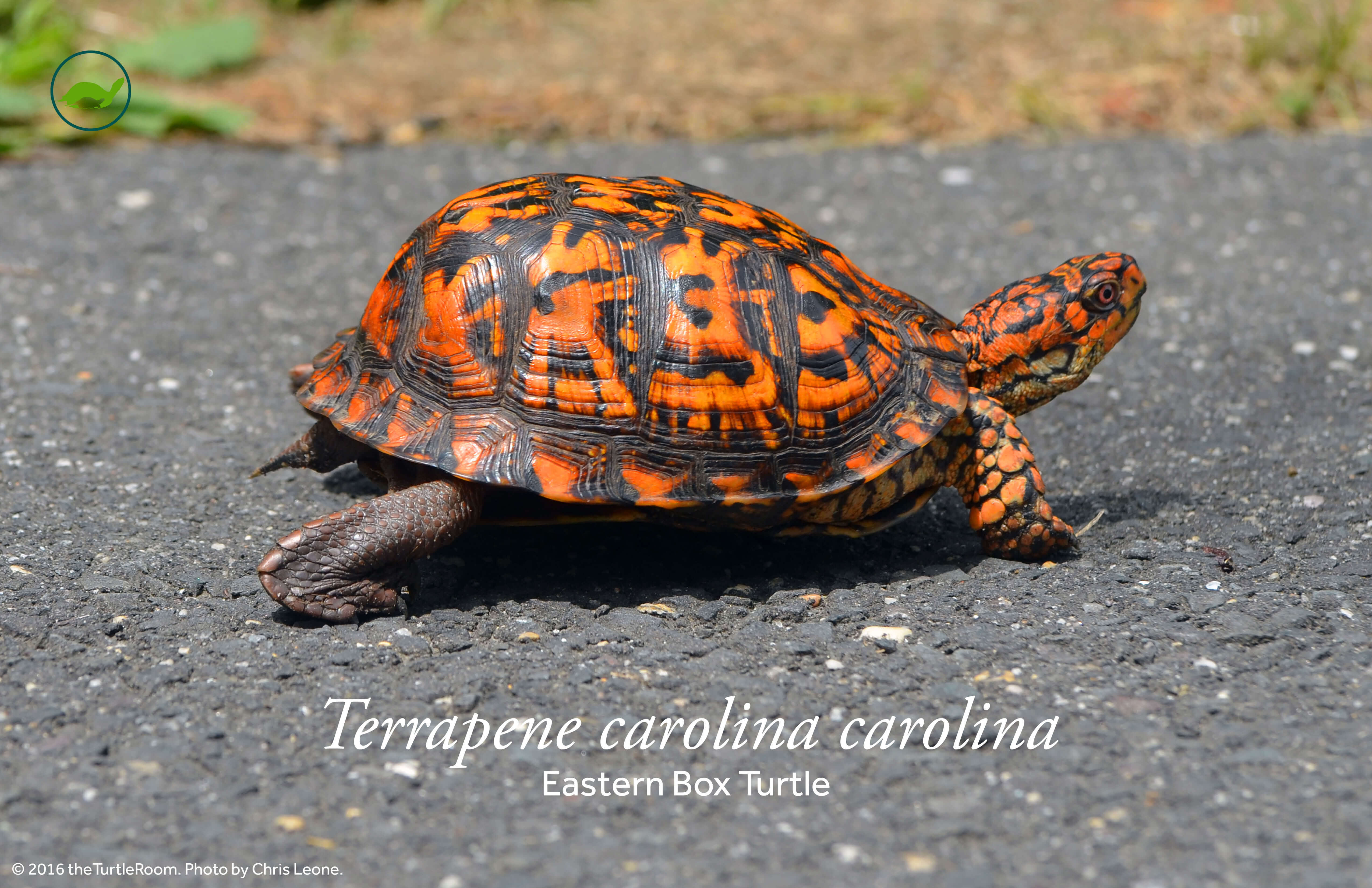 Terrapene carolina carolina (Eastern Box Turtle) Poster