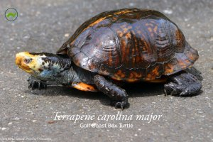 Terrapene carolina major Poster