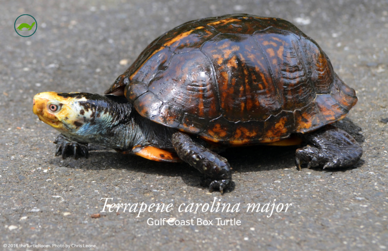 Terrapene carolina major (Gulf Coast Box Turtle) Poster
