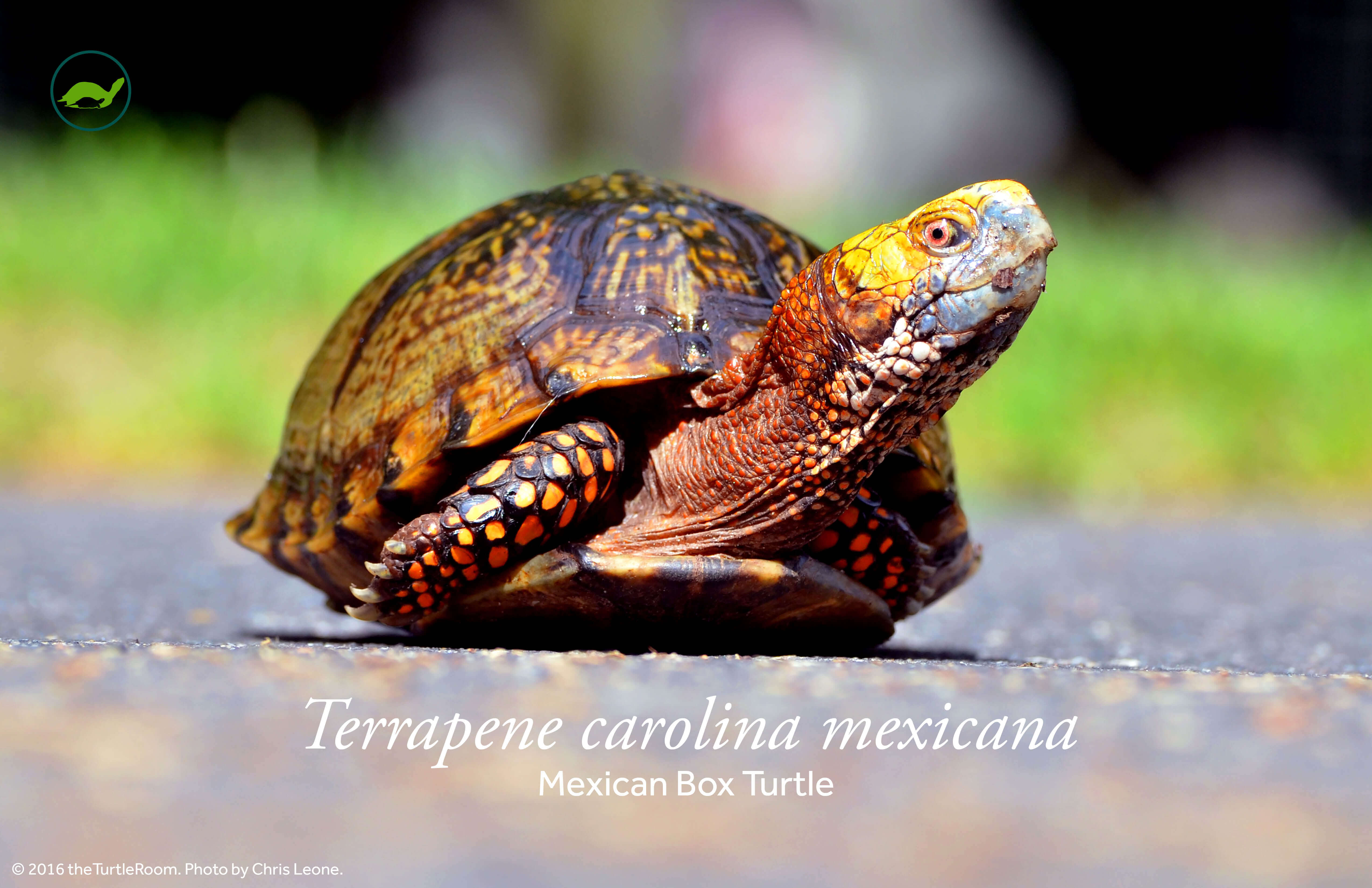 Terrapene carolina mexicana (Mexican Box Turtle) Poster