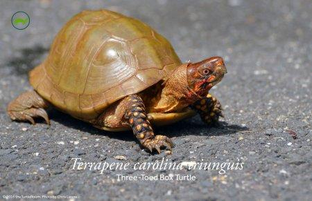 Terrapene carolina triunguis (Three-Toed Box Turtle) Poster
