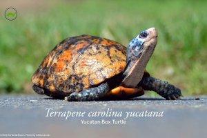 Terrapene carolina yucatana (Yucatan Box Turtle) Poster