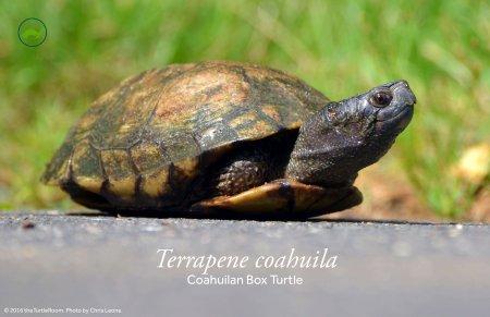 Terrapene coahuila (Coahuilan Box Turtle) Poster