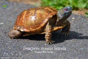 Terrapene ornata luteola (Desert Box Turtle) Poster