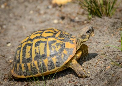 Adult female Testudo hermanni hermanni from Apulia, Italy. Photo by Chris Leone.