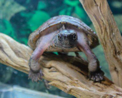 Adult male Four-Eyed Turtle basking